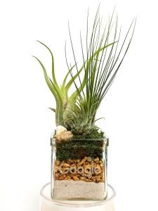 Square Glass 3×3 Air Plants #19466