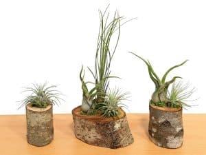 Natural Wood Log Air Plants