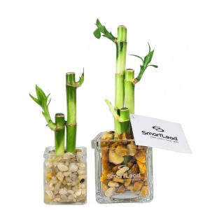 Square Glass Lucky Bamboo