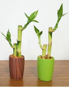 Round Ceramic 2 Stalks Lucky Bamboo #22902