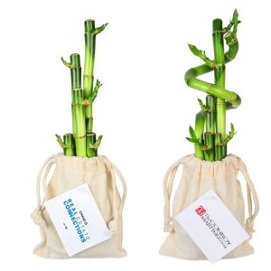 5 Lucky Bamboo Stalks in Cotton Bag