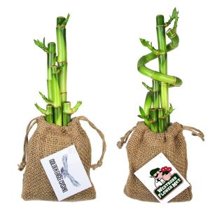 Lucky Bamboo Stalks in Burlap Bag