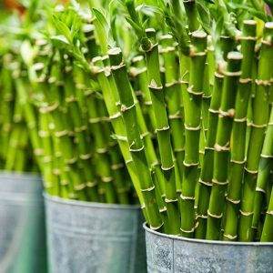 Lucky Bamboo Promotional Gifts