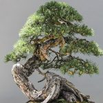 Bonsai Promotional Gift