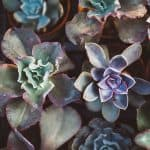 Succulents Promotional Gifts